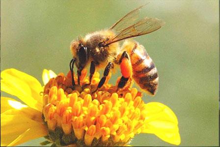 Hasil gambar untuk lebah