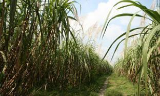 Ethanol 99.5% dari Tetes Tebu