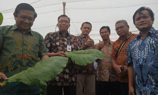 Panen Perdana, Kebun Kertosari Targetkan Peningkatan Kualitas