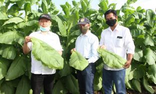 Kebun Ajong Gayasan Panen Perdana Tembakau